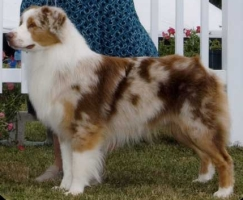 AKC CH. Risingstar's Junior Celebrity